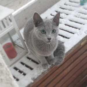 venäjänsininen kissanpentu kitten  russianblue